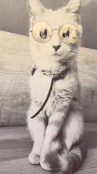 Belle, chat Norvégien
