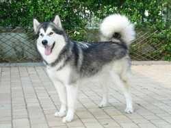 Belle, chien Malamute de l'Alaska