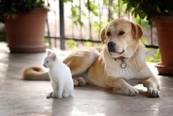 Belle, chien Husky sibérien