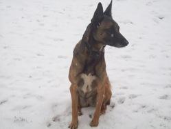Belle, chien Berger belge