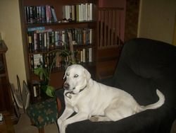 Belle, chien Labrador Retriever