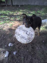 Belle, chien Beauceron