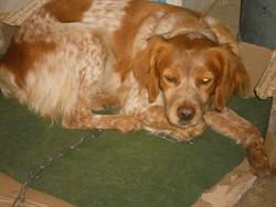 Belle, chien Épagneul breton