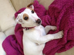 Belle, chien Jack Russell Terrier