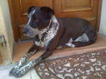 Belle, chien Braque allemand à poil court