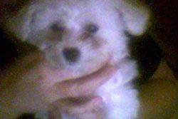 Belle, chien Bichon à poil frisé