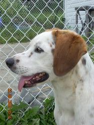 Bellie, chien Beagle-Harrier