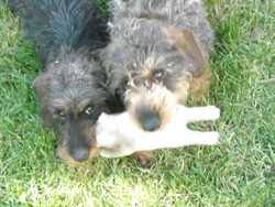 Bellinda, chien Teckel