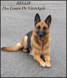 Bellis, chien Berger allemand