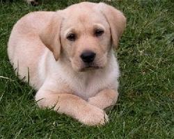 Bello, chien Labrador Retriever