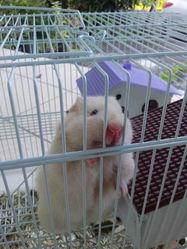 Bello, rongeur Hamster