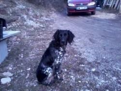Belloune, chien Épagneul breton