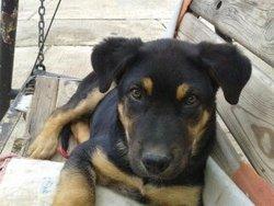 Belly, chien Rottweiler
