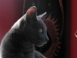Belzébuth, chat Chartreux