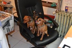 Bemol, chien Pinscher