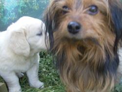 Ben, chien Yorkshire Terrier