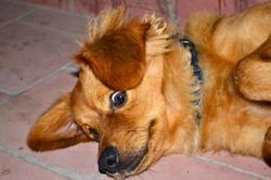 Ben, chien Pékinois