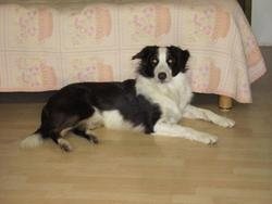 Ben Le Border Collie, chien Border Collie