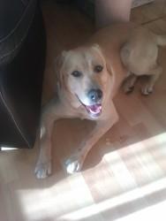 Ben, chien Labrador Retriever