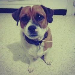 Ben, chien Jack Russell Terrier