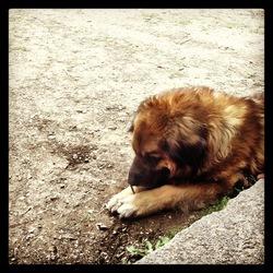 Ben, chien Leonberger