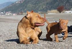 Ben, chien American Staffordshire Terrier