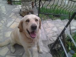 Ben-Hur, chien Labrador Retriever