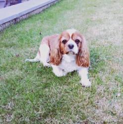 Bendi, chien Cavalier King Charles Spaniel