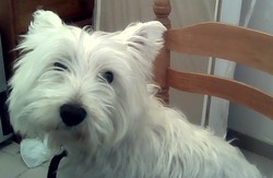 Bengi, chien West Highland White Terrier