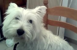 Bengi, chien West Highland White Terrier