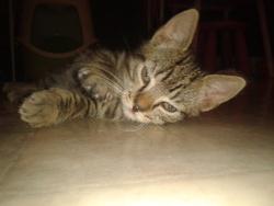 Bengo , chat Gouttière