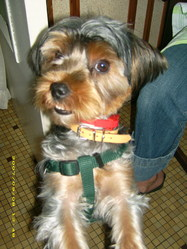 Bengy, chien Yorkshire Terrier