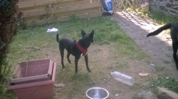 Benji, chien Podenco portugais
