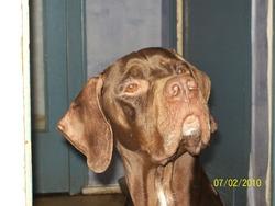 Benji, chien Pointer anglais