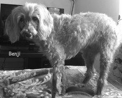 Benji, chien Caniche