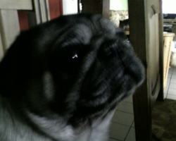 Benji, chien Carlin