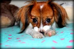 Benji, chien Épagneul nain continental
