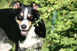 Benji, chien Border Collie