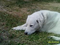 Benji, chien