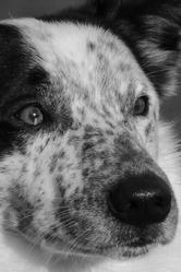 Benji, chien Border Collie