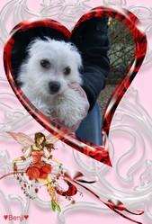 Benji, chien Bichon maltais