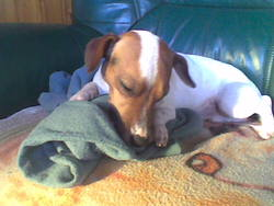 Benji, chien Jack Russell Terrier