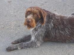 Benji, chien Barbu tchèque