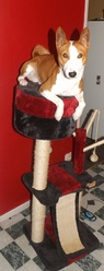 Benji, chien Basenji