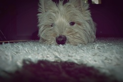 Benji, chien West Highland White Terrier