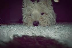 Benji, chien West Highland White Terrier