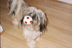 Benji, chien Shih Tzu