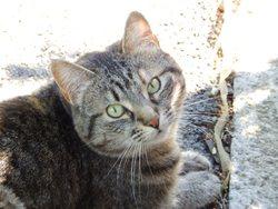 Benjie, chat Européen