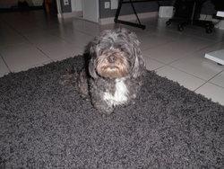 Benjis, chien Lhassa Apso