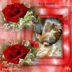 Benjy, chien Yorkshire Terrier